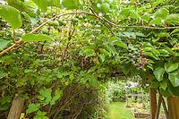 Kiwi fruit hangs from a branch. A blackberry vines grows alongside.