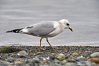 Mew Gull (Larus canus), Nanaimo, British Columbia, Canada   Photo: Peter Llewellyn
