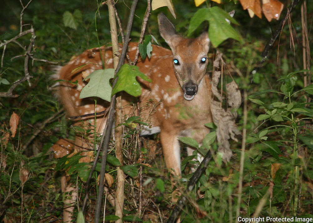 A whitetail fawn calmly chews on leaves thinking it's hidden from view at the edge of the forest.