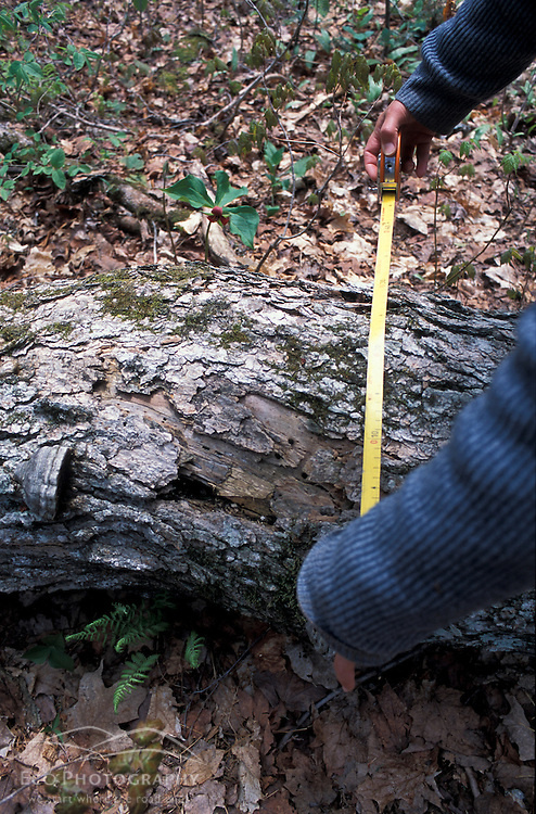 Kibby Township, ME. A field researcher for Manomet Observatory measures the diameter of a fallen sugar maple on a tract of Maine timberland owned by Plum Creek. MR