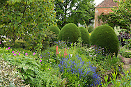 Chamaecyparis lawonia 'Fletcheri' (Lawson Cypress) in a mixed border of Lupinus, Aquilegia and Geranium in East Lambrook Manor Gardens, Souther Petherton, Ilminster, Somerset, UK