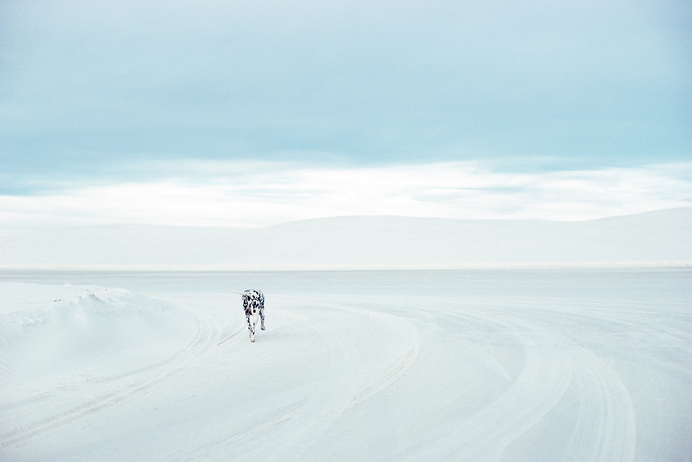 A dalmation in the dunes at White Sands National Monument in New Mexico