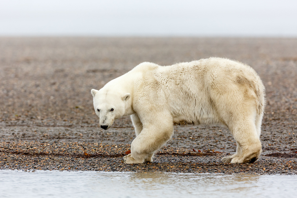Remale polar bear (Ursus maritimus)  foraging on spit on Barter Island near Kaktovik in the Arctic National Wildlife Refuge in the Far North of Alaska. Autumn. Morning.