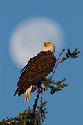 The nearly full moon hovers in the background as an adult Bald Eagle (Haliaeetus leucocephalus) watches over its nest in Kirkland, Washington