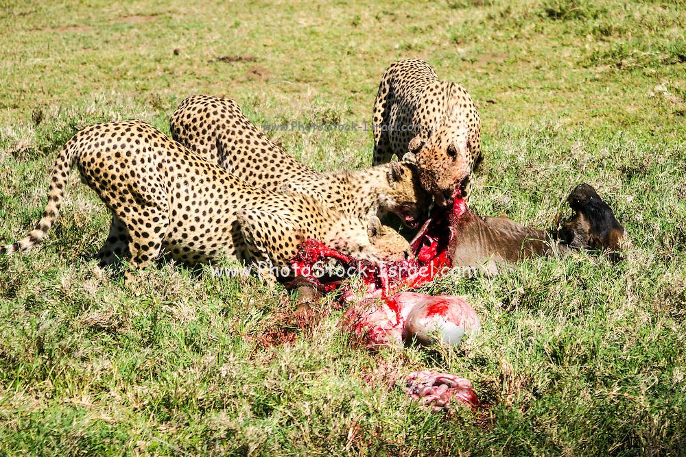 Cheetah (Acinonyx jubatus) Eating the carcass of a wildebeest Photographed in Africa, Kenya, Samburu National Reserve,