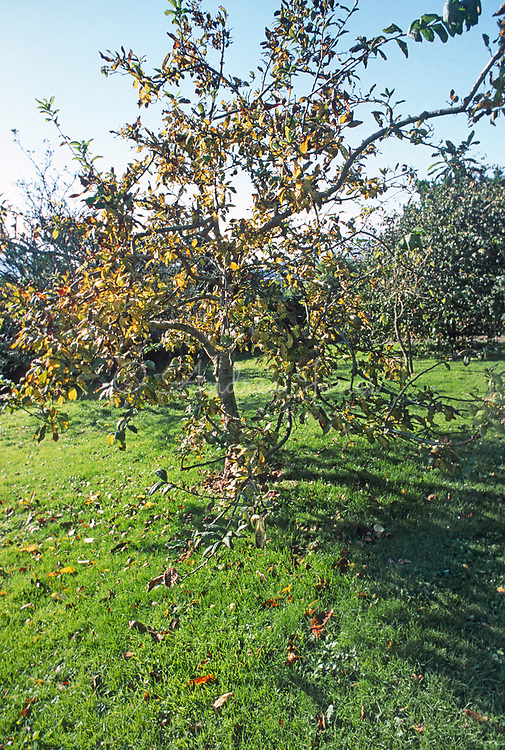 Mespilus germanica (Medlar tree) with autumn foliage and fruit