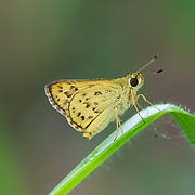 Detached Dart, Potanthus trachala tytleri, is a skipper or skipper butterfly of the family Hesperiidae