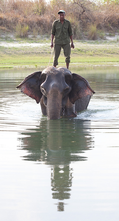 Nepali ranger standing on an elephant in a river, Bardiya National Park, Nepal