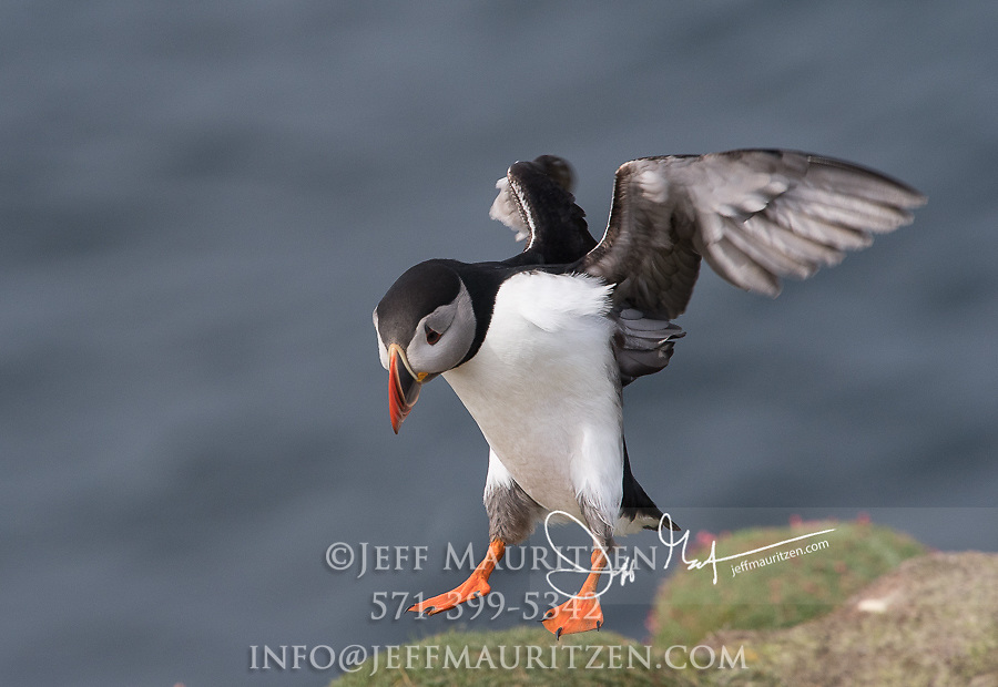 An Atlantic puffin in flight comes in for a landing on Fair Isle, Scotland.
