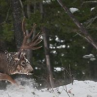 a mature trophy shooter muledeer buck charges ahead deep snow winter rut