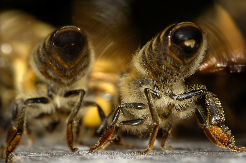 DEU, Deutschland: Biene, Honigbiene (Apis mellifera), Duftspur legen, in den Stock zurückkehrende Bienen bekommen Landehilfe durch alte Stockbienen, die aus ihrer Nasanovdrüse am Hinterleib eine lockende Duftfahne wehen lassen und diese durch Flügelschwirren verteilen, der Hinterleib ist dabei hochgereckt, Bienenstation an der Bayerischen Julius-Maximilians-Universität Würzburg | DEU, Germany: Bee, Honey-bee (Apis mellifera), setting a scent track for helping bees which are flying back into their hive, so that they better can find their way home, they are doing this by isolating a scent out of their nasanov gland at their tail, by rotating their wings they spead the scent all over, their tail is stretched overhead, Beestation at the Bavarian Julius-Maximilians-University Würzburg