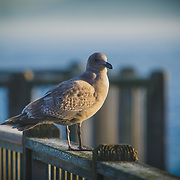 Seagull perched on a railing over the Foss Waterway - Tacoma, WA