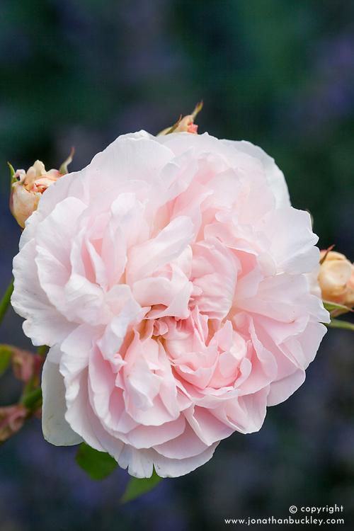 Rosa Aphrodite = 'Tanetidor'