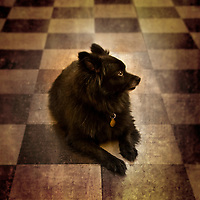 A small black dog lying on the floor