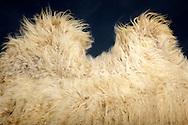 """Bactrian camel (Camelus bactrianus), hump. Domesticated pack- und farm animal in Asia. The coat color varies from sand gray to dark brown, the longest hair are on the neck and the throat. During the winter they have a very thick, long fur, which is repelled so fast when the temperatures rise that the animals often make a ragged impression. The wild animals have a brighter and thinner coat (mostly sand-colored). Their fur is used for the production of clothes and blankets. The production of camel hair products is declining. Between 1990  and 1992 90000 blankets of camel hair a year, in 2000 it was only 28500 blankets. Freiburg, Baden-Wuerttemberg, Germany.This picture is part of the series """"Creature's Coiffure""""..Trampeltier, Baktrisches Kamel (Camelus bactrianus).Hoecker eines Baktrischen Kamels. Domestiziertes Last -und Nutztier, welches in Asien weit verbreitet ist. Die Fellfaerbung variiert von sandgrau bis dunkelbraun, am laengsten sind die Haare am Nacken und an der Kehle. Waehrend des Winters haben sie ein ausgesprochen dickes, langes Fell, das bei Ansteigen der Temperaturen so schnell abgestossen wird, dass die Tiere oft einen zerlumpten Eindruck machen. Die freilebenden Tiere unterscheiden sich von den domestizierten unter anderem darin, dass ihr Fell heller (meist sandfarben) und duenner ist. Ihr Fell wird fuer die Herstellung von Kleidung und Decken genutzt. Allerdings ist die Produktion von Kamelhaarprodukten ruecklaeufig. Wurden zwischen 1990 und 1992 pro Jahr noch 90.000 Decken aus Kamelhaar hergestellt, waren es 2000 nur noch 28.500 Kamelhaardecken. Freiburg, Baden-Wuerttemberg, Deutschland.Dieses Bild ist Teil der Serie ,,Die Frisur der Kreatur"""""""