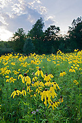 Gray-headed Coneflower, Ratibida pinnata, Lapeer County, Michigan