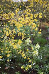 Cornus officinalis - Japanese cornelian cherry