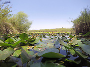 Spatterdock flowers (Nuphar lutea). This aquatic plant is also known as the yellow water-lily, cow lily, and yellow pond-lily. Photographed in a natural pool in Israel in September