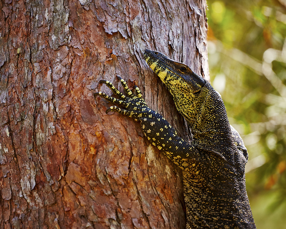 An Australian Goanna scales a gumtree with its powerful claws.