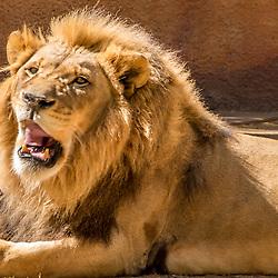 Lion, La Zoo