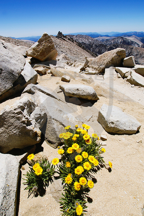 yellow wildflower blooms amongst the boulders of mount whitney in the high sierra nevada mountains of california.