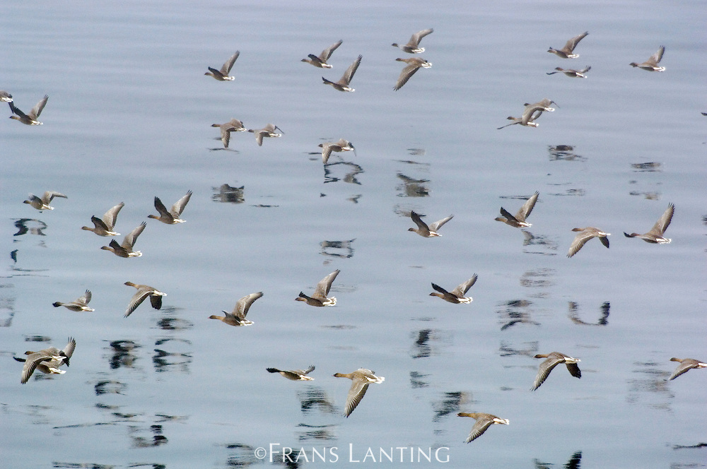 Pink-footed geese migrating south, Anser brachyrhynchus, Greenland