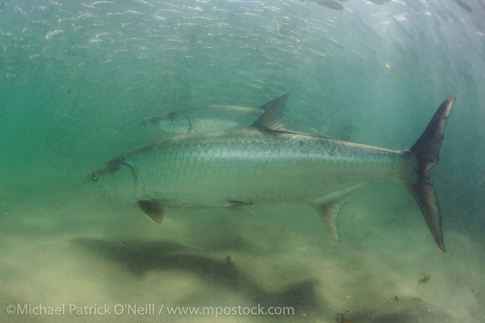 Tarpon, Megalops atlanticus, hunt mullet along the beach in Juno Beach, Florida, United States, during the mullet migration in early fall.