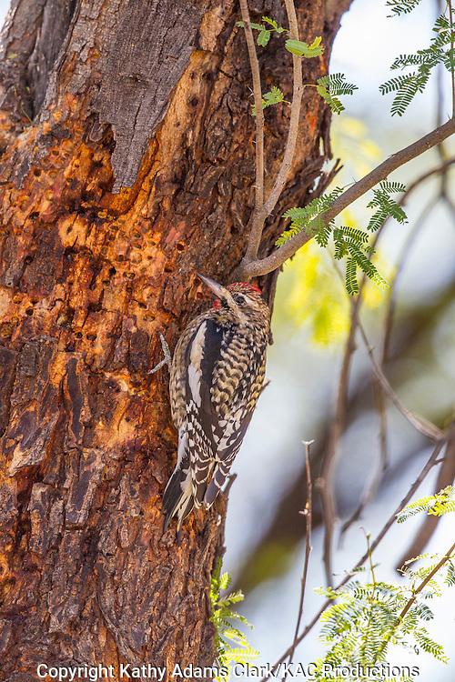 Yellow-bellied sapsucker, Sphyrapicus varius, winter, Big Bend National Park, Chihuahuan Desert, west Texas