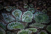 Giant Green Anemones at Ruby Beach; Olympic National Park, Washington