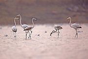 A flock of Greater Flamingo (Phoenicopterus roseus) in a water pool. Photographed at Ein Afek nature reserve, Israel