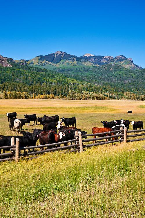 Cattle ranch on the San Juan River, San Juan National Forest, Colorado