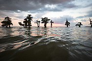 Cypress trees along the bank of Lake Verret, a brackish tidal estuarine sytem is South Louisiana.