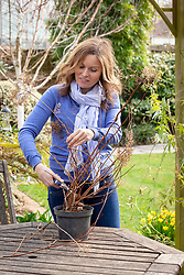 Hard pruning a pot grown Hydrangea paniculata – cutting all stems back to healthy buds roughly 25cm from the base.
