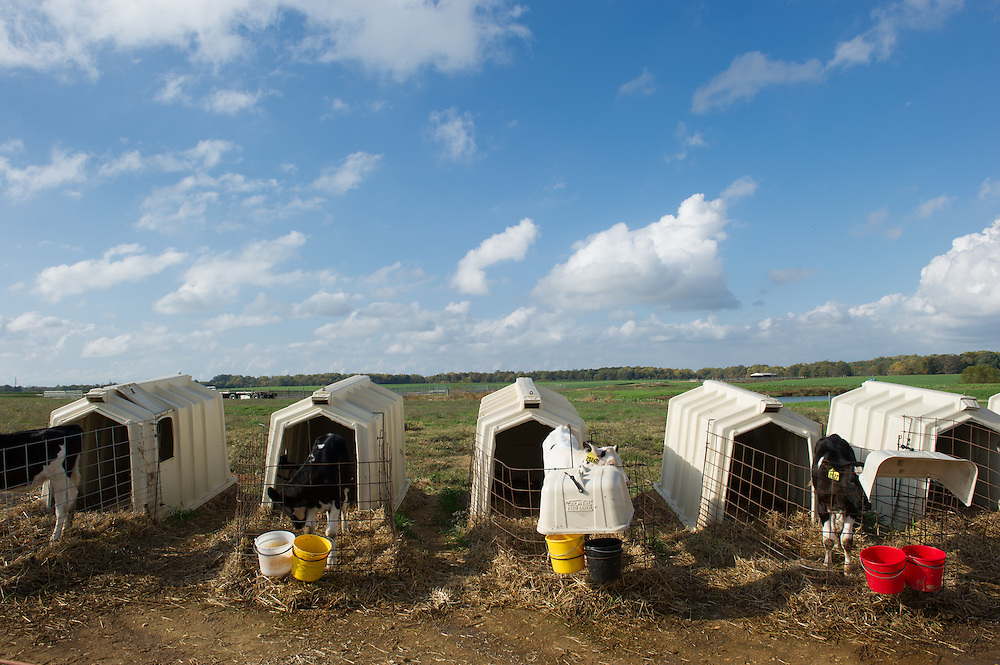 Calf pens on a dairy farm