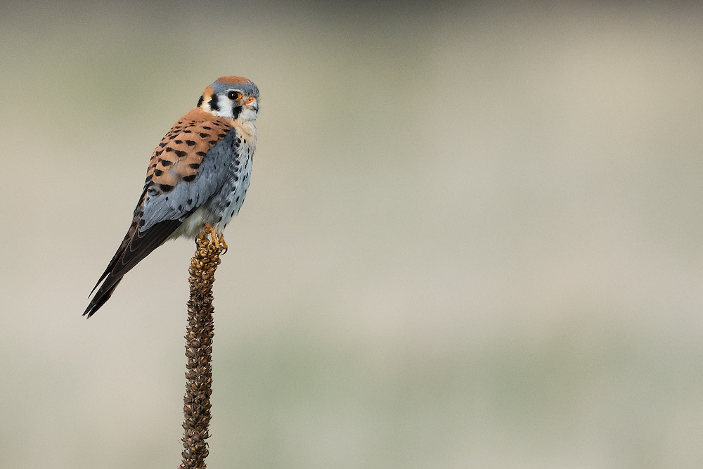 American Kestrel perched on mullein, Boulder, Colorado