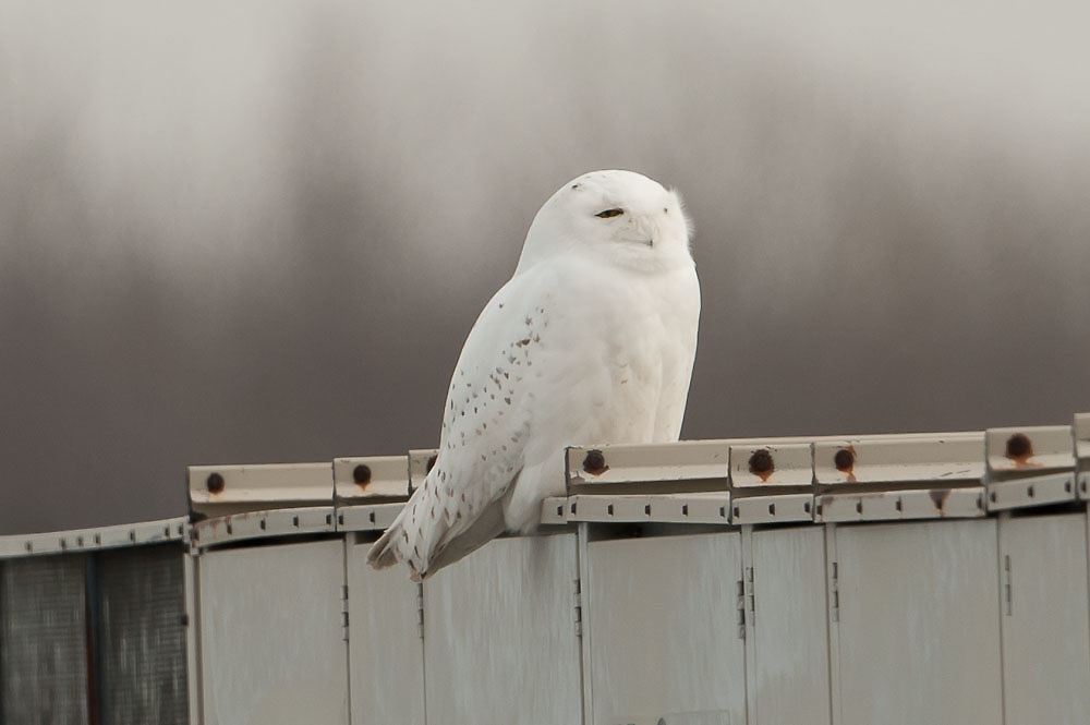 Snowy Owl roost on airport terminal