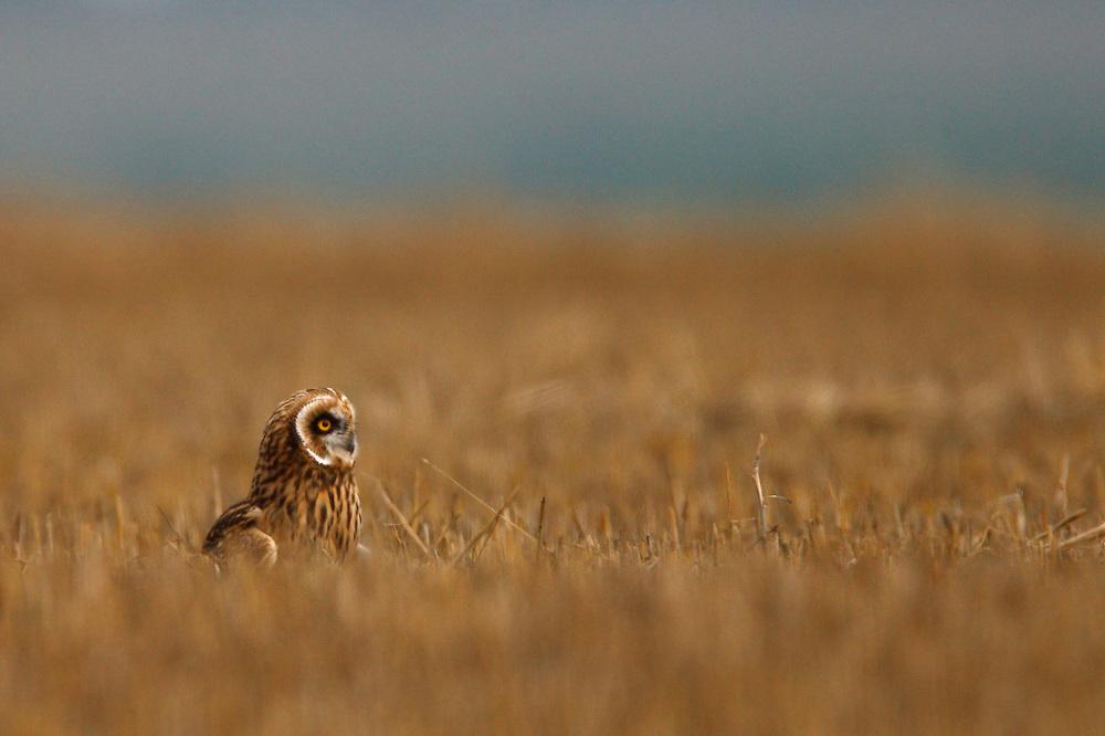 Short-eared Owl sitting on steppe fields, Bagerova Steppe, Kerch Peninsula, Crimea, Ukraine