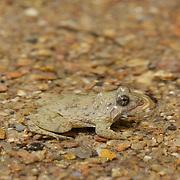 Juvenile Bufo sp. toad in Chaloem Phrakiat Thai Prachan National Park, Thailand.