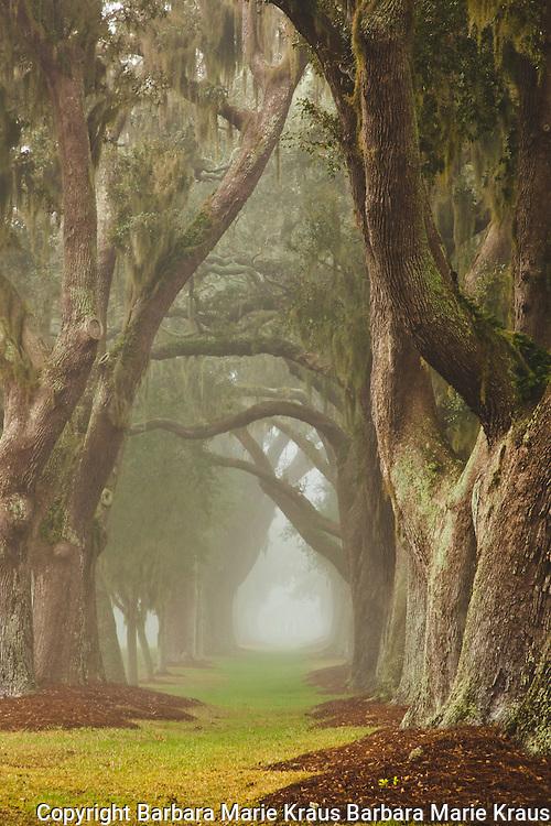Retreat Plantation Avenue of Oaks in the morning mist. St Simons Ialand, Georgia.