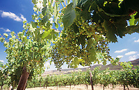 Wine grapes on vines Central Victoria Australia