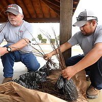 Adam Robison | BUY AT PHOTOS.DJOURNAL.COM<br /> Tupelo Public Works Employees Jounior Swords and Balfre Bernal, sort Red Bud trees during at the Tree Giveaway at Veterans Park Friday afternoon in Tupelo.