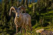 Bighorn sheep ram in Glacier National Park, Montana, USA
