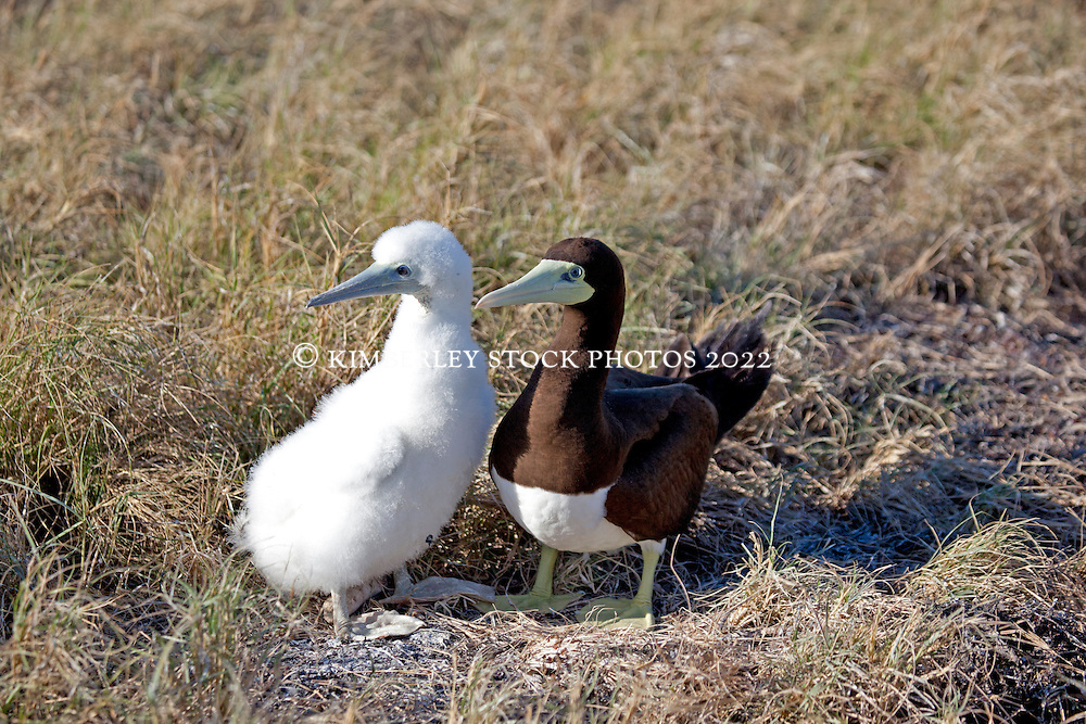 A Brown Booby chick and parent (Sula leucogaster) on the Lacepede Islands to the north of Broome.