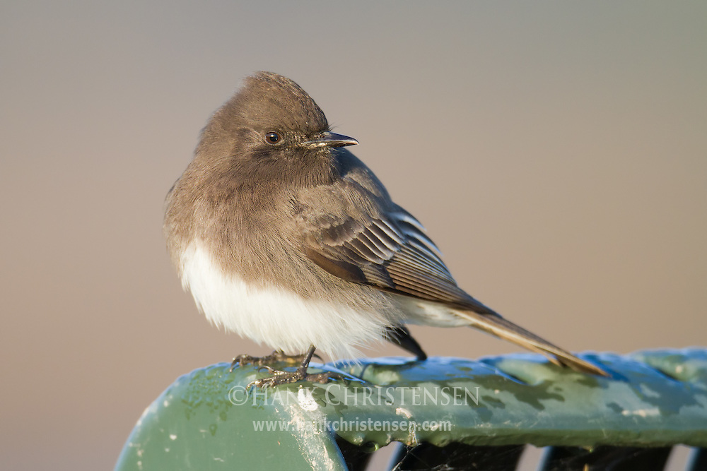 A black phoebe perches on the top of a metal bench