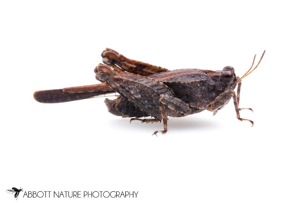 Hooded Grouse Locust (Paratettix cucullatus)<br /> TEXAS: Grimes Co.<br />Cat&rsquo;s Cradle Cat Rescue<br />Navasota @ C.R. 403<br />11-Jan-2013 30.4727 -96.0842  <br /> J.C. Abbott #2634 &amp; K.K. Abbott