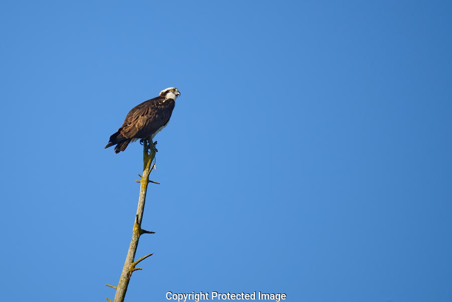 An Osprey flew into a dead snag at Spencer Island and peered out across the wetlands.
