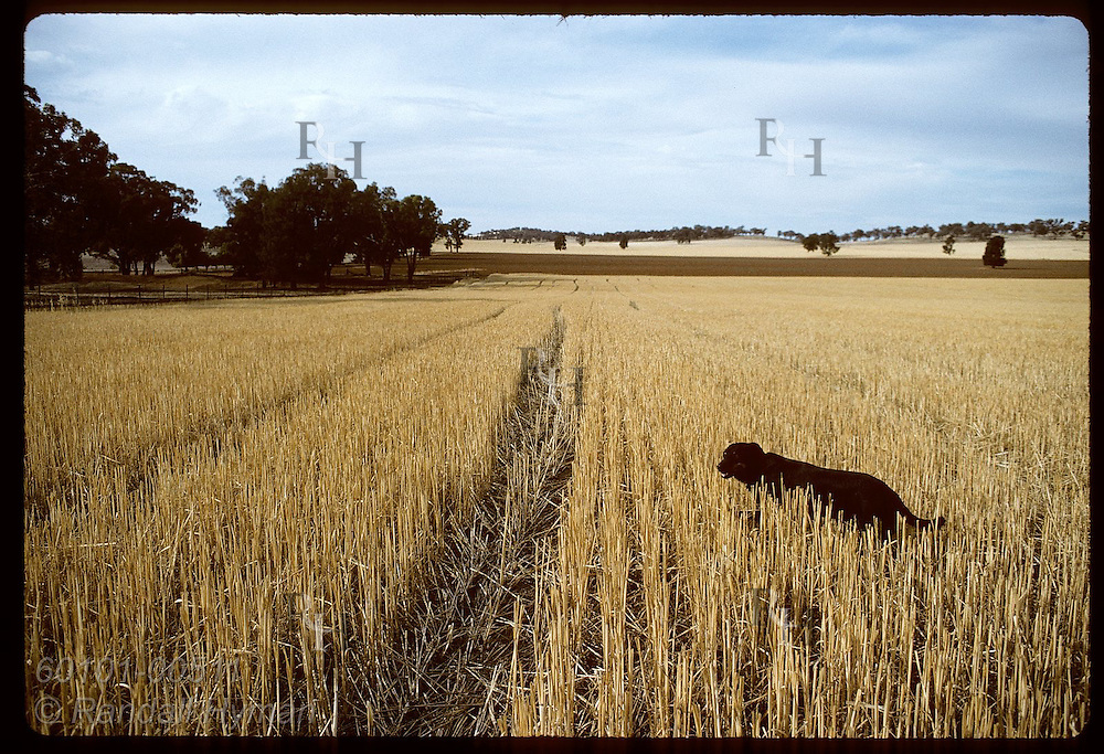 Dog wanders amid rows of alfalfa stubble one summer day on farm in Coolamon, New South Wales. Australia