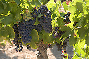 close up of big bunches of grapes