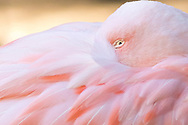 Pink Flamingo with head nestled backwards in feathers