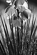 A yucca plant in bloom in the desert southwest.